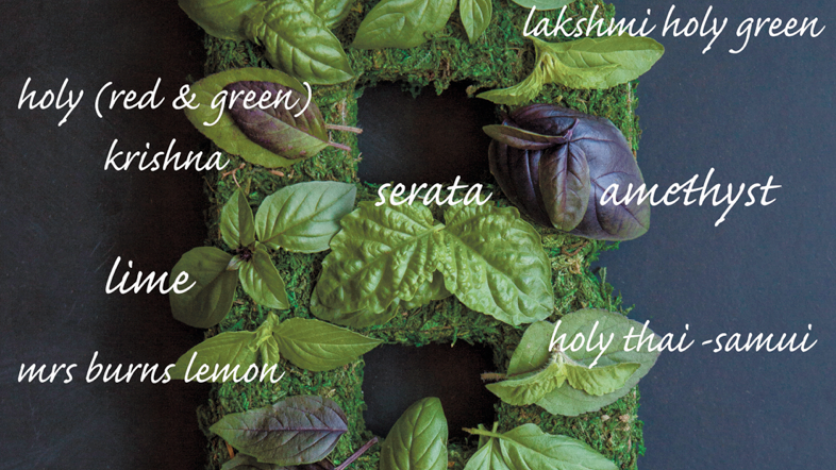basil varieties graphic