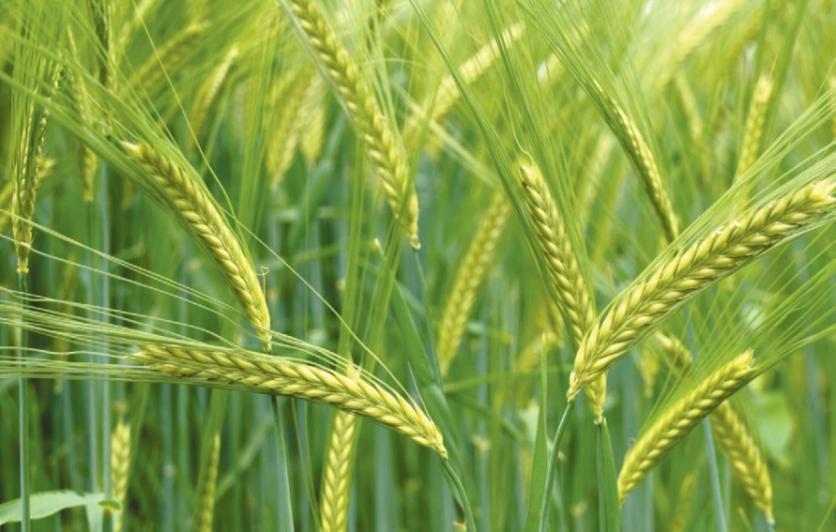 durum wheat edible phoenix