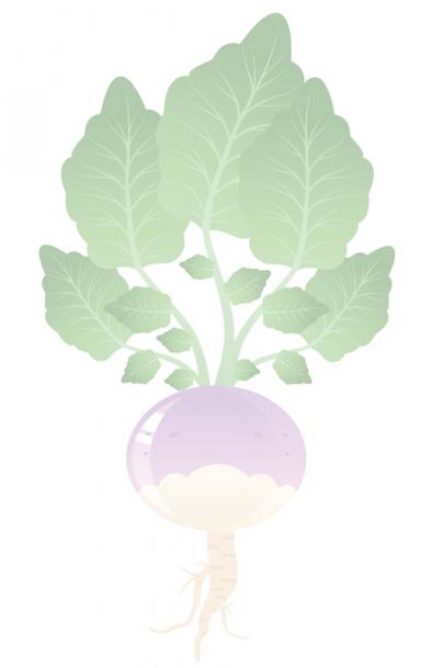 Turnip illustration