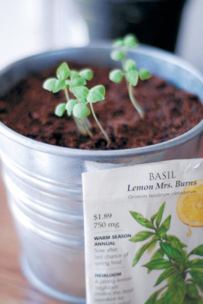 Mrs. Burns Lemon Basil