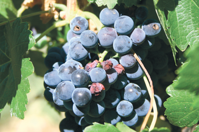 Wine grapes on the vine at Page Spring Cellars