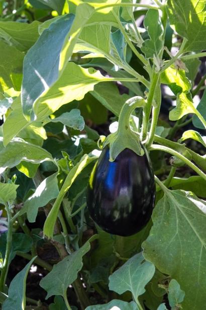 Eggplant grows at Farmyard