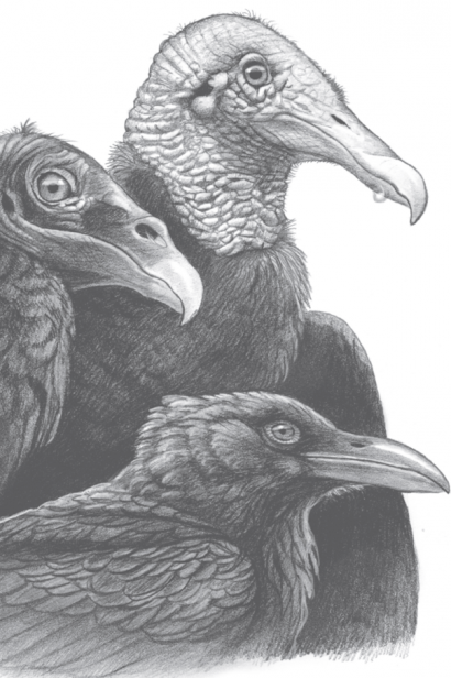 Illustration of crows