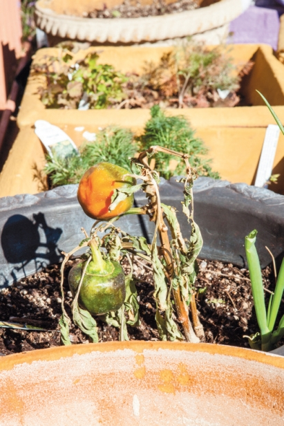 frozen plants in vegetable garden