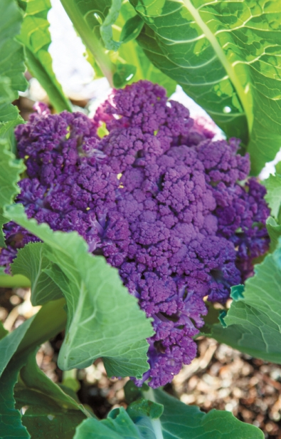purple broccoli in vegetable garden
