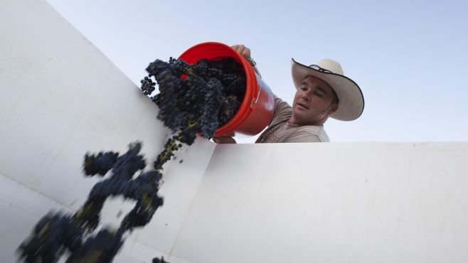 Worker emptying grapes into white bin.