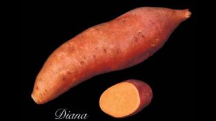 Diana Sweet Potato