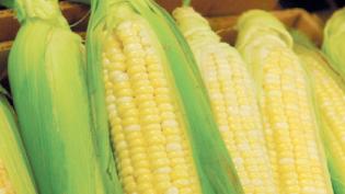 Ears of summer corn